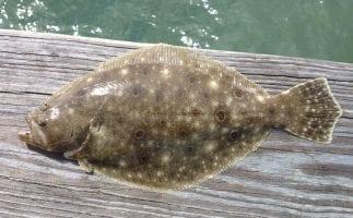 RedFin Flounder